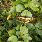 butterfly033