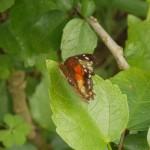 butterfly043