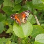 butterfly044